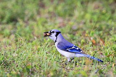 Blue Jay (Cyanocitta cristata) adult, feeding, collecting acorns in beak, Florida  -  Edward Myles/ FLPA