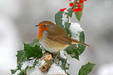 European Robin (Erithacus rubecula) adult, perched on snow covered European Holly (Ilex aquifolium) with berries, Washington, West Sussex, England, december  -  Roger Wilmshurst/ FLPA