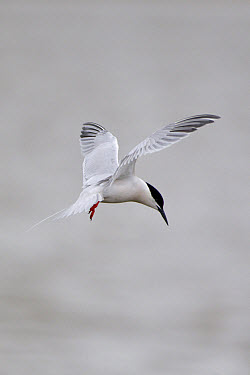 Roseate Tern (Sterna dougallii) adult, in flight, hovering, Minsmere RSPB Reserve, Suffolk, England, june  -  Paul Sawer/ FLPA