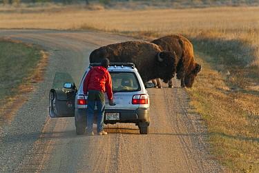 North American Bison (Bison bison) two adults, standing on track near person outside car, Sage Creek Wilderness, Badlands N.P, South Dakota, U.S.A., september  -  Mark Newman/ FLPA