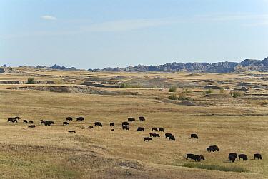 North American Bison (Bison bison) herd, grazing in prairie habitat, Sage Creek Wilderness, Badlands N.P, South Dakota, U.S.A., september  -  Mark Newman/ FLPA