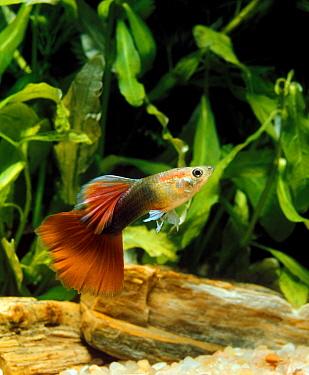 Guppy (Poecilia reticulata) domesticated form, adult male, swimming, in aquarium  -  Gerard Lacz/ FLPA