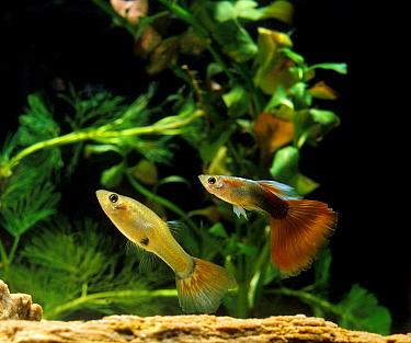 Guppy (Poecilia reticulata) domesticated form, adult pair, swimming, in aquarium  -  Gerard Lacz/ FLPA