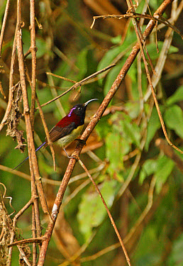 Black-throated Sunbird (Aethopyga saturata) adult male, perched on twig, Kaeng Krachan National Park, Thailand, november  -  Neil Bowman/ FLPA