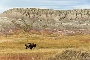 North American Bison (Bison bison) adult male, standing in prairie habitat, Sage Creek Wilderness, Badlands N.P, South Dakota, U.S.A., september  -  Mark Newman/ FLPA