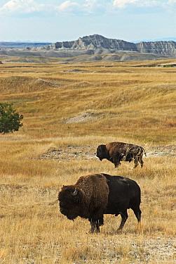 North American Bison (Bison bison) two adult males, standing in prairie habitat, Sage Creek Wilderness, Badlands N.P, South Dakota, U.S.A., september  -  Mark Newman/ FLPA