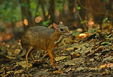 Lesser Mouse-deer (Tragulus kanchil) adult, with insect around head, standing on forest floor, Kaeng Krachan National Park, Thailand, november  -  Neil Bowman/ FLPA