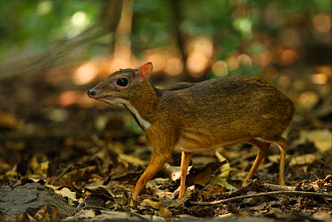 Lesser Mouse-deer (Tragulus kanchil) adult, walking on forest floor, Kaeng Krachan National Park, Thailand, november  -  Neil Bowman/ FLPA