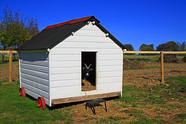 Domestic Goat, Pygmy Goat, adult, looking out from entrance of mobile shed in paddock, Museum of East Anglian Life, Stowmarket, Suffolk, England, october  -  Marcus Webb/ FLPA