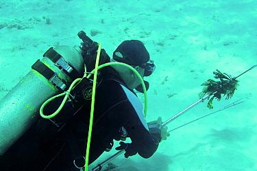 Red Lionfish (Pterois volitans) introduced invasive species, dead adults, speared by diver in eradication attempt, Bonaire, Leeward Antilles, Lesser Antilles, Caribbean  -  Hugh Clark/ FLPA