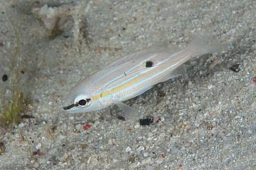 Long-spot Snapper (Lutjanus fulviflamma) juvenile, in night colours, swimming in reef at night, Waigeo Island, Raja Ampat, West Papua, New Guinea, Indonesia  -  Colin Marshall/ FLPA