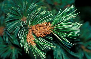 Bristle-cone Pine (Pinus aristata) Close up  -  David Hosking/ FLPA