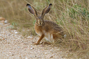 Iberian Hare (Lepus granatensis) adult, sitting at edge of track, Extremadua, Spain, may  -  John Hawkins/ FLPA