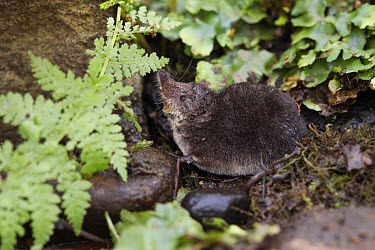 Eurasian Water Shrew (Neomys fodiens) adult, standing on pond bank, South Yorkshire, England, july  -  Paul Hobson/ FLPA