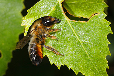 Willoughby's Leafcutter Bee (Megachile willughbiella) adult, cutting disc from Birch (Betula sp) leaf, Snailbeach, Shropshire, England, july  -  Richard Becker/ FLPA