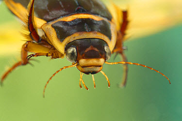 Great Diving Beetle (Dytiscus marginalis) adult, close-up of head, Derbyshire, England, july  -  Paul Hobson/ FLPA