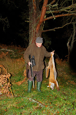 Man holding dead European Red Fox (Vulpes vulpes), shot at night using licenced nite-vision image intensifier scope on rifle, Cairngorms National Park, Grampian Mountains, Highlands, Scotland, novembe...  -  Desmond Dugan/ FLPA