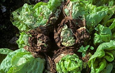 Grey mould (Botrytis cinerea) infection of maturing lettuce plants in damp weather  -  Nigel Cattlin/ FLPA