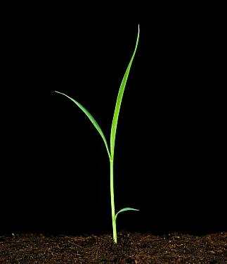 Green foxtail (Setaria viridis) seedling crop grass weed plant  -  Nigel Cattlin/ FLPA
