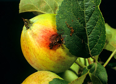 Exit hole of codling moth (Cydia pomonella) caterpillar from young apple fruit  -  Nigel Cattlin/ FLPA