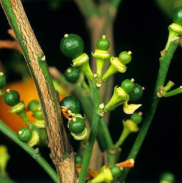 Fruitlets on small potted calamondin citrus tree  -  Nigel Cattlin/ FLPA