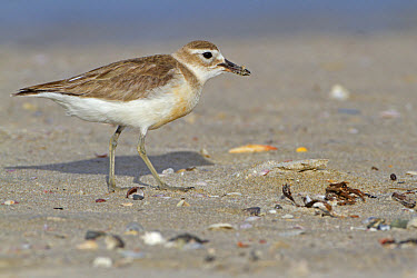 New Zealand Dotterel (Charadrius obscurus) adult, breeding plumage, foraging on beach, New Zealand, november  -  Roger Tidman/ FLPA