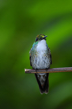 White-chested Emerald (Amazilia chionopectus) adult, perched on twig, Trinidad, Trinidad and Tobago  -  Malcolm Schuyl/ FLPA