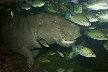 Pygmy Hippopotamus (Choeropsis liberiensis) adult, underwater with fish, Singapore Zoo  -  Roger Tidman/ FLPA
