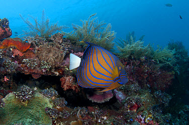 Blue-ringed Angelfish (Pomacanthus annularis) adult, swimming over coral encrusted shipwreck, Liberty Wreck, Tulamben, Bali, Lesser Sunda Islands, Indonesia  -  Colin Marshall/ FLPA