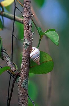 Liguus Tree Snail (Liguus fasciatus pictus) Florida  -  David Hosking/ FLPA