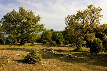 Turkey Oak (Quercus cerris), Downy Oak (Quercus pubescens) and Juniper (Juniperus sp) high wood pasture habitat at m, Gargano Peninsula, Apulia, Italy, april  -  Bob Gibbons/ FLPA