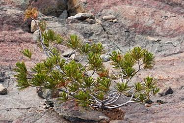 Whitebark Pine (Pinus albicaulis) dwarfed habit, growing on on rock, Klamath-Siskiyou Mountains, Northern California, U.S.A., july  -  Bob Gibbons/ FLPA