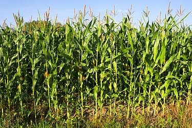 Maize (Zea mays) crop, flowering in field, Narke, Svealand, Sweden, august  -  Bjorn Ullhagen/ FLPA