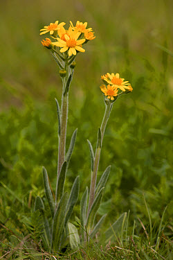 Field Fleawort (Tephroseris integrifolia sp integrifolia) flowering, growing on chalk downland, Martin Down, Hampshire, England, may  -  Bob Gibbons/ FLPA