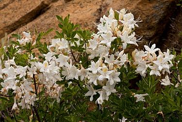 Western Azalea (Rhododendron occidentale) flowering, Klamath Mountains, Northern California, U.S.A., july  -  Bob Gibbons/ FLPA