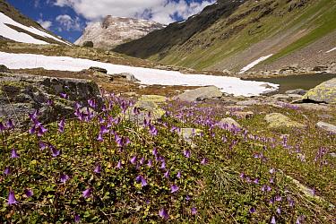 Dwarf Snowbell (Soldanella pusilla) flowering mass, growing at high altitude in mountain habitat, Val Minor, Upper Engadin, Eastern Swiss Alps, Switzerland, june  -  Bob Gibbons/ FLPA