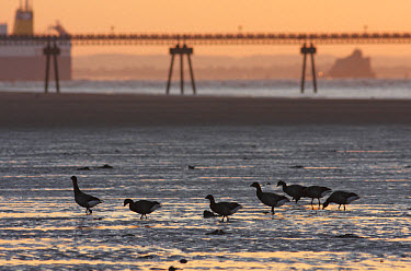 Brent Goose (Branta bernicla bernicla) seven adults, foraging in mud at low tide, with jetty in background, silhouetted at sunset, Spurn Point, East Yorkshire, England, october  -  Paul Miguel/ FLPA