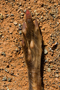 Springhare (Pedetes capensis) adult, close-up of foot underside, clearly showing three main triangular toe nails, Loxton, Northern Cape, South Africa  -  Chris & Tilde Stuart/ FLPA