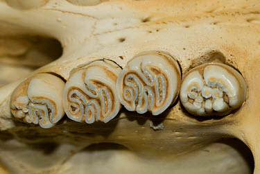 Cape Porcupine (Hystrix africaeaustralis) skull, adult, close-up of molar teeth on maxilla, showing complex pattern of enamel, Melton Wold, Northern Cape, South Africa  -  Chris & Tilde Stuart/ FLPA