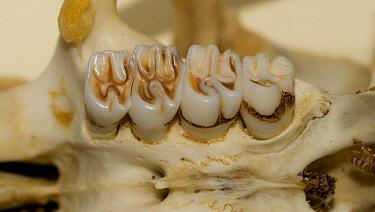 Greater Cane Rat (Thryonomys swinderianus) skull, adult, close-up of molar teeth on maxilla, showing complex enamel pattern, Eastern Cape, South Africa  -  Chris & Tilde Stuart/ FLPA
