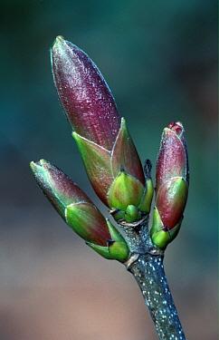 Sycamore (Acer pseudoplatanus) Buds  -  Tony Wharton/ FLPA