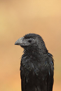 Groove-billed Ani (Crotophaga sulcirostris) adult, close-up of head and chest, Costa Rica, february  -  Bill Baston/ FLPA