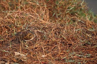 Greater Painted-snipe (Rostratula benghalensis) adult male, standing amongst vegetation, Keoladeo Ghana National Park (Bharatpur), Rajasthan, India, november  -  Robin Chittenden/ FLPA