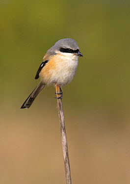 Long-tailed Shrike (Lanius schach) adult, perched on reed stem, Northern India, january  -  Harri Taavetti/ FLPA