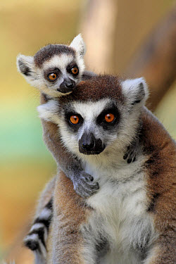 Ring-tailed Lemur (Lemur catta) adult female with baby clinging to back, Berenty Nature Reserve, Southern Madagascar, september  -  Jurgen and Christine Sohns/ FLPA