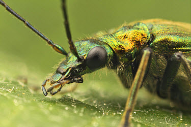 Thick-legged Flower Beetle (Oedemera nobilis) adult, close-up of head, Leicestershire, England, june  -  Matthew Cole/ FLPA