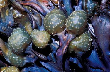 Seaweed, Wrack Bladder(Fucus vesiculosus) Close-up of reproductive bodies  -  Tony Wharton/ FLPA