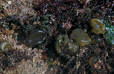 Seaweeds, Oyster Thief (Colpomenia peregrina with corallina & other seaweeds at low tide  -  D.P. Wilson/ FLPA