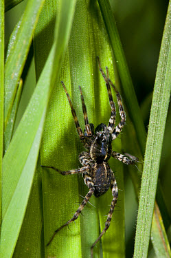 Pond Pirate Wolfspider (Pirata piraticus) adult, resting in long grass, waiting to ambush prey, Crossness Nature Reserve, Bexley, Kent, England, may  -  Dave Pressland/ FLPA