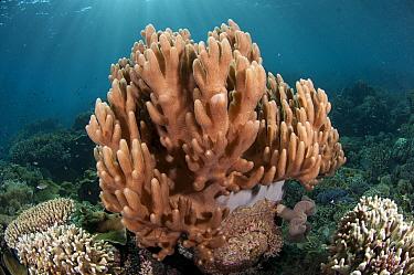 Leather Coral (Lobophytum compactum) in reef, Tutuntute, Wetar Island, Barat Daya Islands, Lesser Sunda Islands, Maluku Province, Indonesia  -  Colin Marshall/ FLPA